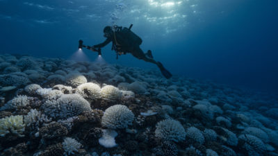 A diver examines bleached coral in French Polynesia in 2019.