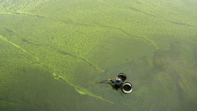 A man collects snails amid a nitrogen-fueled algae bloom in China's eastern Jiangsu province.