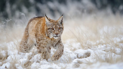 Eurasian lynx have snowshoe-like feet that give them a competitive edge in catching prey on thick snow.