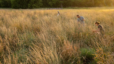 Harvesting heads of Kernza, a newly developed perennial grain, on a research plot in Salina, Kansas.