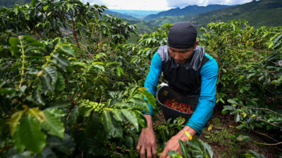 A worker harvests coffee near the town of Santuario, Risaralda department, Colombia in May.