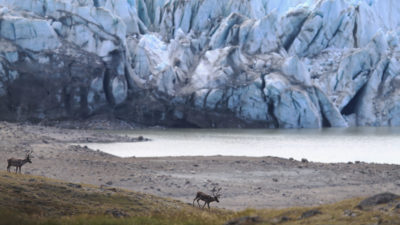 Caribou populations near Kangerlussuaq, Greenland have declined in response to changes in seasonal cycles.
