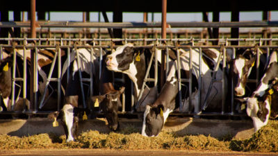 Holstein cows feeding at a dairy farm in Merced, California.