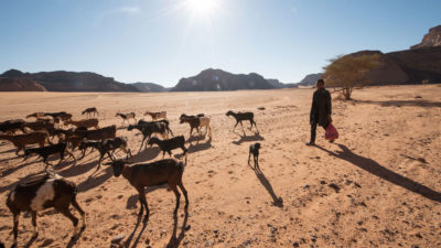 A young boy herds his goats in the Ghat District of Libya, which has been converted largely to desert in the last 100 years.