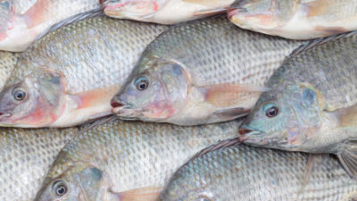 Nile tilapia, shown in an African market, are increasingly found in waters throughout sub-Saharan Africa far from their native range.
