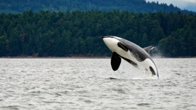 Only 75 killer whales remain in the Salish Sea, a waterway that straddles the western U.S.-Canadian border.
