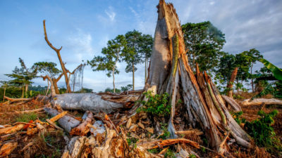 Trees felled for a cocoa plantation inside the Scio Forest Reserve in western Ivory Coast.