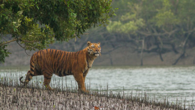 A tiger in the Sundarbans National Park, a protected tiger reserve, in the Indian state of West Bengal.