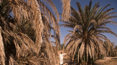 Dried-out palm trees in Morocco's Tafilalet oasis in October 2016.