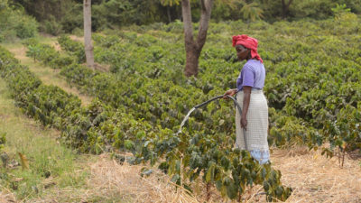 A farmer waters coffee saplings on the slopes of Mount Kilimanjaro.