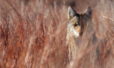 A coyote in the Red Hills of Kansas.