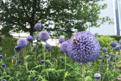Lurie Garden in Chicago has become an important home for bees and other pollinators.