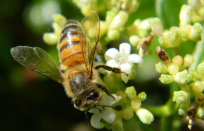 Bees are vital pollinators for coffee crops worldwide.