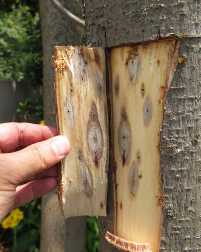 A fusarium fungus stain surrounds tunnels drilled by PSHB in a wild plum tree in Johannesburg, South Africa.