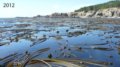 A bull kelp forest as seen from the surface of Ocean Cove in northern California in 2012 and 2016.