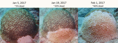 Stony coral tissue loss disease progresses rapidly, taking just weeks to severely damage a coral once it is infected.