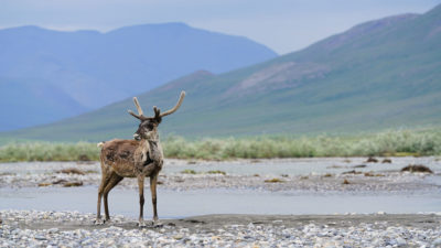 The Porcupine caribou herd in the Arctic Refuge plays a central role in Gwich'in culture, history, and livelihood.