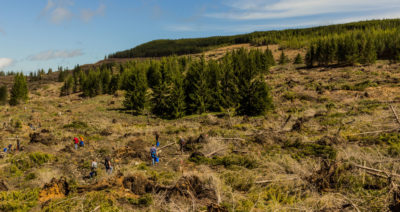 Volunteers fan out over a recently bulldozed plot on Cheat Mountain to plant red spruce and other native seedlings.