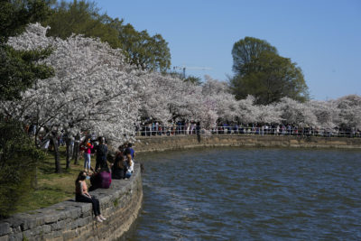 Cherry trees are in full bloom around the Tidal Basin in Washington on Tuesday, March 30, 2021.