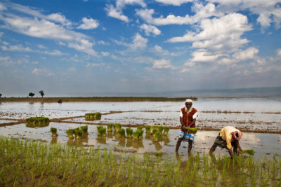 Farmers planting a rice paddy field in Bangladesh.