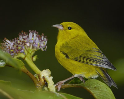 The 'anianiau is the smallest Hawaiian honeycreeper in existence today. It weighs only 9-10 grams.