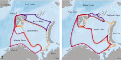 In the Barents Sea, fish species typically found in the Atlantic Ocean, such as cod, beaked redfish, and long rough dab, have moved north and displaced Arctic fishes.