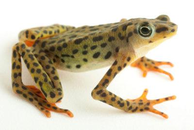 Rio Pescado stubfoot toad (Atelopus balios).