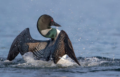 A common loon.