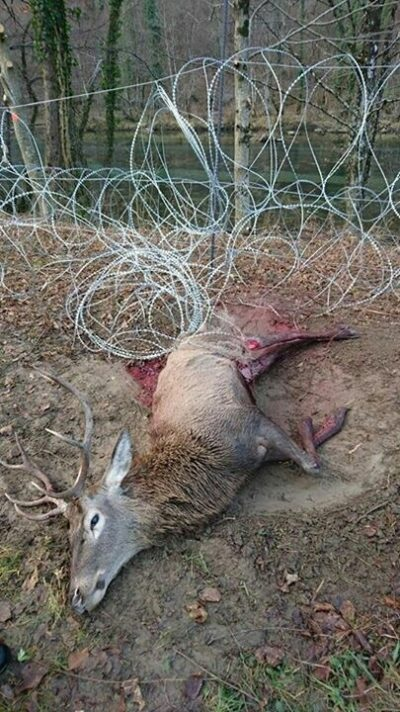 A red deer caught in a fence along the Slovenian-Croatian border.