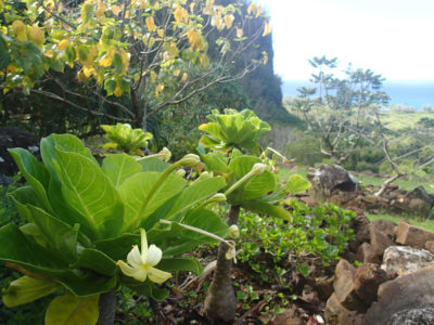 The plant known as cabbage-on-a-stick (Brighamia insignis) has been grown at Limahuli Garden & Preserve on Kauai, which is within the historic range of the species.