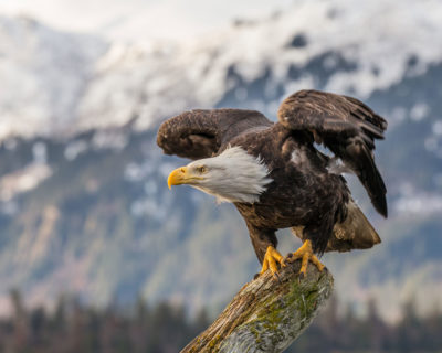 A bald eagle in Kachemak Bay, Alaska.