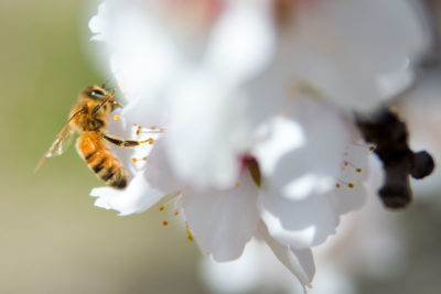 ​A bee pollinates a blossom in the almond orchard on Paramount Farms in McFarland, CA in 2014.​