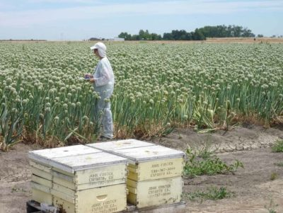 Honeybees are brought in to pollinate onion crops at a California farm.