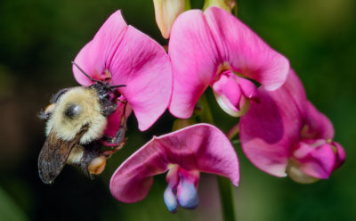 Native bumblebee species, such as the Bombus impatiens, have declined 46 percent in North America.