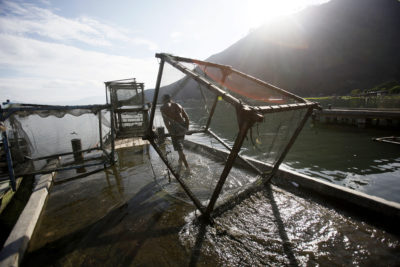A worker drags a fish cage in Haranggaol, Lake Toba.
