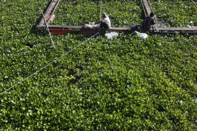 Fishermen in an area overgrown by water hyacinth near the crowded fish cages in Haranggaol.