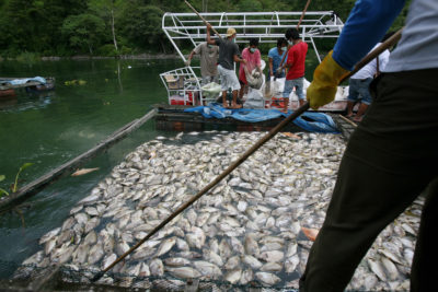 The mass fish kill took days to clean up. More than 100 Lake Toba fish farmers lost their entire stock, costing them thousands of dollars.