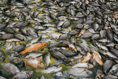 The lake's fishing industry lost more than 1,500 tons of carp and tilapia in the fish kill.