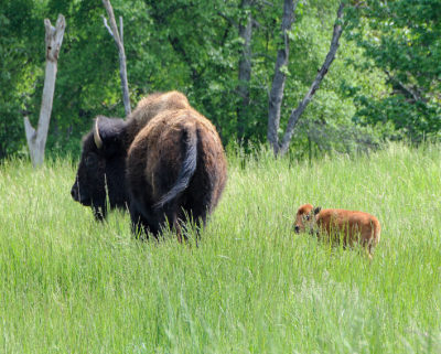 ​As Southeastern grasslands have disappeared​, so have the species that rely on them, including bison.