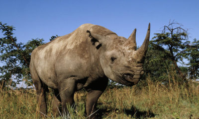 A black rhino in one of South Africa's national parks.