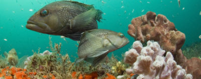 Black sea bass, once abundant in North Carolina, have moved north to New England.