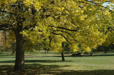 Blue ash trees are now considered critically endangered on the IUCN Red List.
