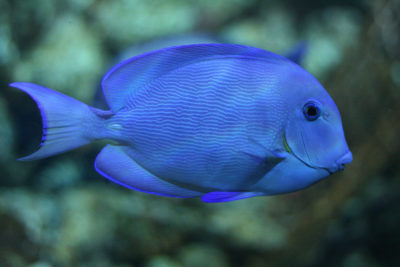 Belize has passed a law to protect species that play a vital role in protecting coal reefs, such as this blue tang surgeonfish.