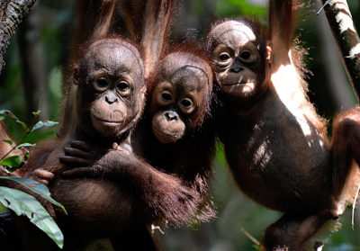Orphaned orangutan babies at the International Animal Rescue center on Borneo.