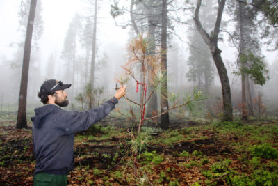 Adam Hernandez examines a young pine tree four months after a prescribed fire in the Sierra National Forest.