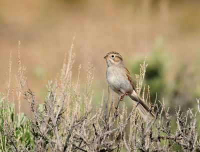 Brewer's Sparrow, seen here on Seedskadee National Wildlife Refuge in Wyoming, lose their nesting habitat when sagebrush is mowed for the benefit of protected sage grouse.
