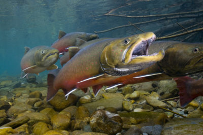 Researchers have used eDNA testing to assess populations of bull trout, a threatened species in the U.S. Northwest.