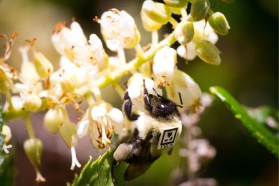 A bumblebee (Bombus impatiens) worker foraging outdoors, outfitted with a unique tracking tag to monitor behavior after exposure to neonicotinoids.