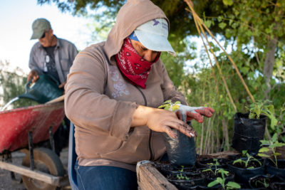A volunteer repots a seedling at the Sonoran Institute's nursery in Baja California. The seedlings, indigenous to the Colorado River delta, will be replanted at Laguna Grande to help restore the delta's natural forests and marshes.