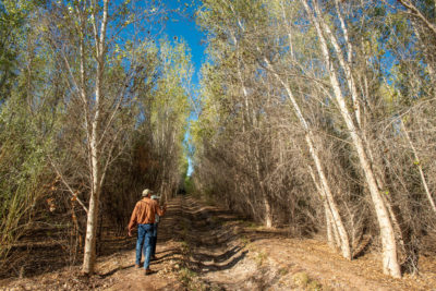 Francisco Zamora, of the Sonoran Institute, and botanist Celia Alvarado walk in a cottonwood forest they helped restore at Laguna Grande in the Colorado River delta. More than 700 acres of land in the delta have been reforested.